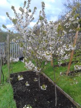 Dewhurst_2018 Cherry blossom at Dewhurst